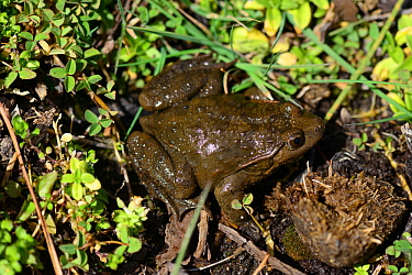 Moroccan painted frog (Discoglossus scovazzi), Talassemtane National Park, Rif Mountains, Morocco.