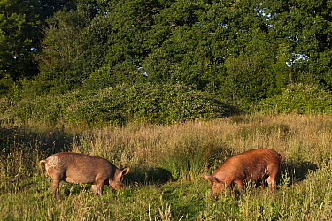 Tamworth pigs grazing meadow in area converted from wheat to sustainable meat production and conservation. Knepp Wildland Project, formerly intensive farmland now turned to conservation and sustainabl...