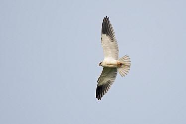 Black-shouldered kite (Elanus axillaris) in flight, Hula Reserve, Northern Israel.