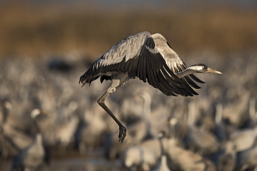 Common cranes (Grus grus), wintering at the Hula Lake Park, Hula Valley Northern Israel. Farmers spread 8 tons of Maize a day on to the marsh to keep the cranes from damaging their crops in the surrou...