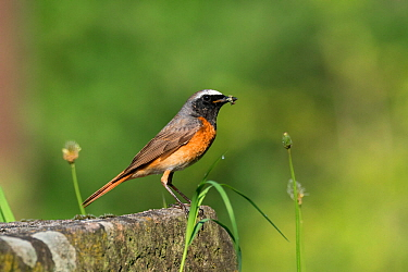 Redstart (Phoenicurus phoenicurus) male, Germany. May