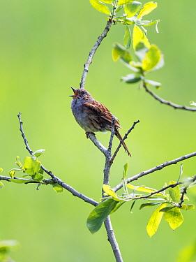 Dunnock (Prunella modularis) singing, Bavaria, Germany. June