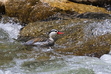 Torrent Duck male, (Merganetta armata) Ecuador.