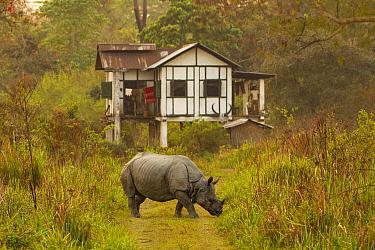 Indian rhinoceros (Rhinoceros unicornis) grazing in front of anti poaching camp, Kaziranga National Park, Assam, India