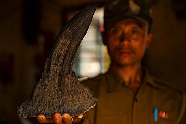 Forest guard holding seized Indian rhinoceros (Rhinoceros unicornis) horn, Kaziranga National Park, Assam, India