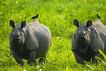 Indian rhinoceros (Rhinoceros unicornis) two with birds on back, Kaziranga National Park, Assam, India