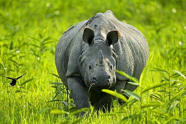 Indian rhinoceros (Rhinoceros unicornis) Kaziranga National Park, Assam, India