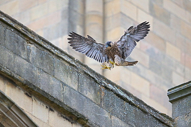 Peregrine (Falco peregrinus) fledgling landing on cathedral roof, Norwich UK GB June 2018