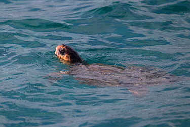 Loggerhead sea turtle (Caretta caretta) Zakynthos, Greece, August.