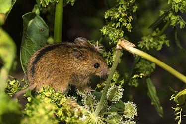 Northern birch mouse (Sicista betulina) resting amongst Umbellifer (Heracleum sp) and Docks (Rumex sp). Bavarian Forest National Park, Bavaria, Germany. August. Captive.