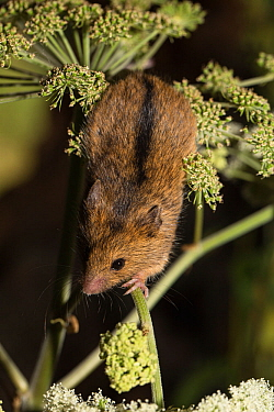 Northern birch mouse (Sicista betulina) climbing in Umbellifer (Heracleum sp). Bavarian Forest National Park, Bavaria, Germany. August. Captive.