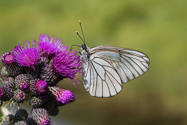 Black-veined white butterfly (Aporia crataegi) feeding on Thistle (Cirsium sp). Bavarian Forest National Park, Bavaria, Germany. June.
