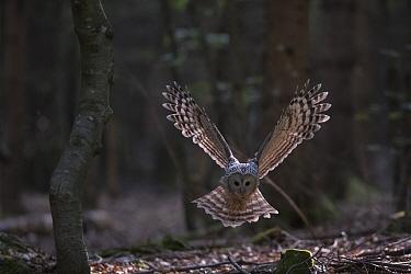 Ural owl (Strix uralensis) flying over forest floor. Bavarian Forest National Park, Bavaria, Germany. June.