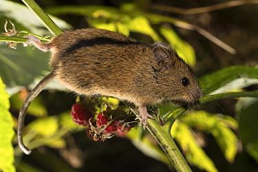 Northern birch mouse (Sicista betulina) climbing on Raspberry (Rubus idaeus) in Bavarian Forest National Park, Bavaria, Germany. Captive.