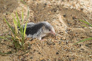 Piebald shrew (Diplomesodon pulchellum) on sand. Captive.
