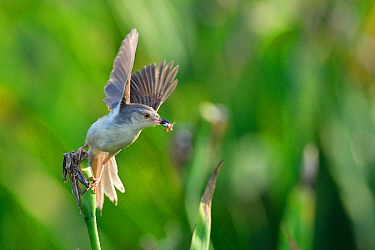 Plain prinia (Prinia inornata) taking off with insect prey, East Lake Greenway park, Wuhan, Hubei, China