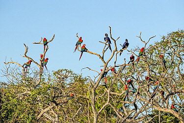 Red-and-green macaws (Ara chloropterus) and Hyacinth macaws (Anodorhynchus, hyacinthinus) perched in tree, Buraco das Araras, Bonito, Mato Grosso do Sul, Brazil
