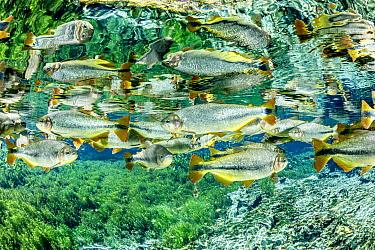 Piraputanga, (Brycon hilarii) reflected on the water surface, Aquario Natural, Bonito, Mato Grosso do Sul, Brazil