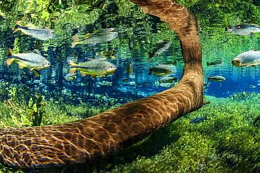 Tree trunk underwater with Piraputanga, (Brycon hilarii) reflected on the water surface, Aqu�rio Natural, Bonito, Mato Grosso do Sul, Brazil