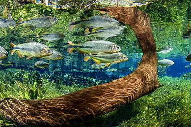 Tree trunk underwater with Piraputanga fish (Brycon hilarii) reflected on the water surface, Aquario Natural, Bonito, Mato Grosso do Sul, Brazil