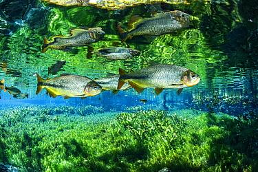 Piraputanga, (Brycon hilarii), reflected on the water surface, Aqu�rio Natural, Bonito, Mato Grosso do Sul, Brazil