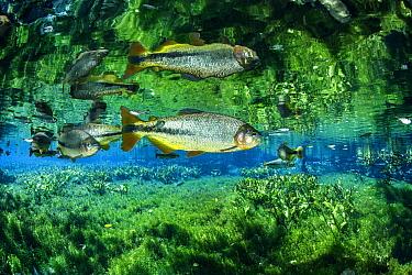 Piraputanga, (Brycon hilarii), reflected on the water surface, Aquario Natural, Bonito, Mato Grosso do Sul, Brazil
