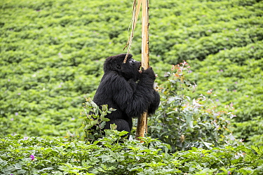 Mountain gorilla (Gorilla beringei beringei) juvenile feeding on gum of Eucalyptus within Potato crop. Outside of Volcanoes National Park, Rwanda.