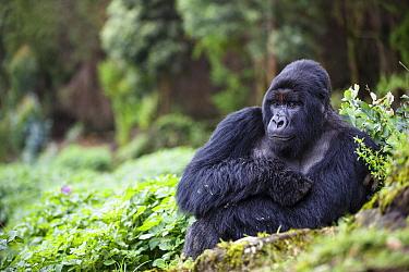 Mountain gorilla (Gorilla beringei beringei) silverback sitting amongst Potato crop on farmland next to / outside Volcanoes National Park, Rwanda.