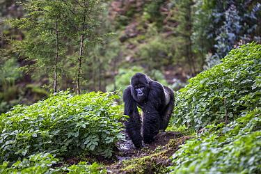 Mountain gorilla (Gorilla beringei beringei) silverback walking through farmland with potato crop to feed on Eucalyptus tree sap. Outside Volcanoes National Park, Rwanda.