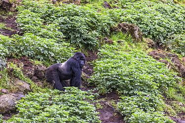 Mountain gorilla (Gorilla beringei beringei), silverback exploring potato crops on farmland adjacent to Volcanoes National Park, Rwanda.