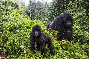 Mountain gorilla (Gorilla beringei beringei), silverback and juvenile son. Volcanoes National Park. Rwanda.