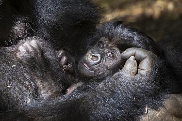 Mountain gorilla (Gorilla gorilla beringei), baby in arms of mother. Volcanoes National Park. Rwanda.