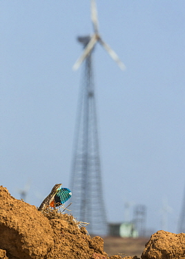 Superb fan-throated lizard (Sarada superba) male displaying dewlap, with wind turbines behind, Chalkewadi Plateau, Maharashtra, India