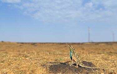 Superb fan-throated lizard (Sarada superba) displaying dewlap, with wind turbines behind, Chalkewadi Plateau, Maharashtra, India