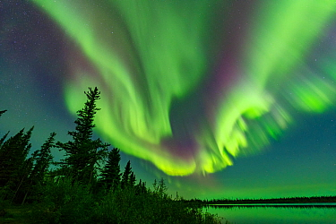 Aurora Borealis display above conifers and Polar Lake. Near Great Slave Lake, Northwest Territories, Canada. September 2018.