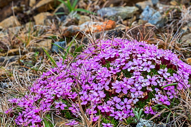 Moss campion (Silene acaulis) in flower, Keen of Hamar, Unst, Shetland Islands, Scotland, UK, May