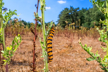 Cinnabar moth caterpillar (Tyria jacobaeae) feeding on leaves of Common ragwort (Jacobaea vulgaris) in summer, Belgium, July