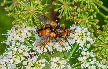 Parasite fly / tachinid fly (Tachina fera) feeding on nectar from Hogweed (Heracleum sphondylium) in summer, France. August.