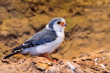 African pygmy falcon (Polihierax semitorquatus) native to eastern and southern Africa, captive