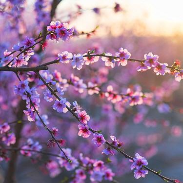 Close up of Peach tree (Prunus persica) blossom, Fruiturisme Tourism Experience, Lleida, Catalonia, Spain.