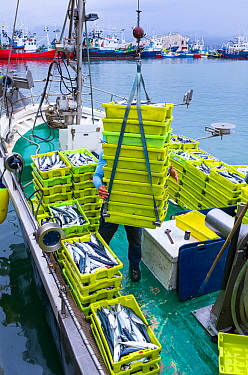 Unloading a fishing vessel in Santona harbour, Noja y Joyel Natural Park, Cantabria, Spain, Europe