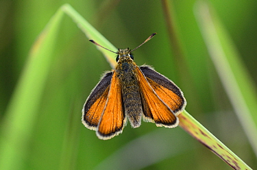 Small skipper butterfly (Thymelicus sylvestris) butterfly at rest. Dorset, UK, July.