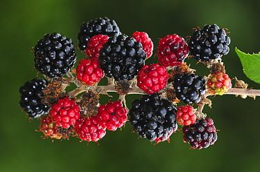 Portrait of Bramble (Rubus fruticosus) with ripening blackberries. Dorset, UK September.