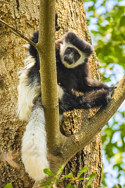 Mantled guereza / Eastern black and white colobus (Colobus guereza) sitting in tree, Serengeti, Tanzania.