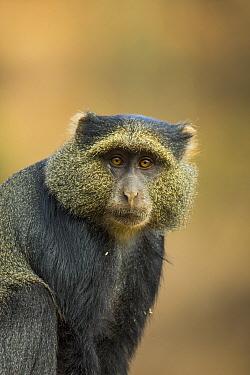 Blue monkey (Cercopithecus mitis) portrait. Lake Manyara National Park, Tanzania.