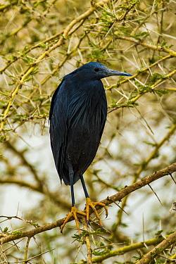 Black heron (Egretta ardesiaca) perched in thorny tree, Lake Manyara, Lake Manyara National Park, Tanzania.