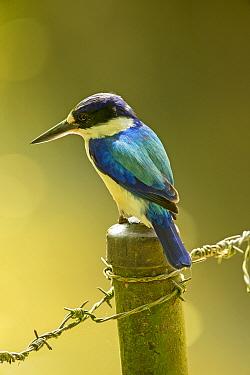 Forest kingfisher (Todiramphus macleayii) perched on fence post, looking for prey. Kuranda, Queensland, Australia.