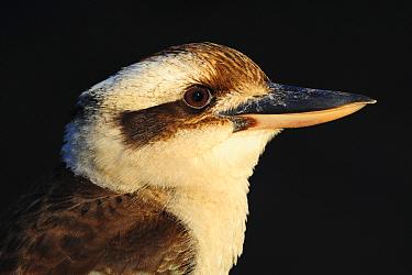 Laughing kookaburra (Dacelo novaeguineae), portrait. Carnarvon National Park, Maranoa, Queensland, Australia.