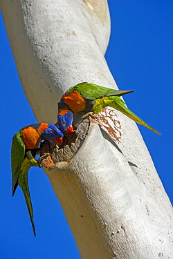 Red-collared lorikeet (Trichoglossus rubritorquis) pair examining hole in Eucalyptus as a potential nesting hollow. Katherine, Northern Territory, Australia.
