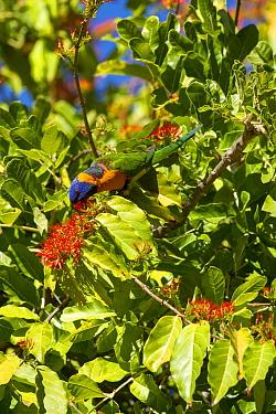 Red-collared lorikeet (Trichoglossus rubritorquis) feeding on flowering shrub. Katherine, Northern Territory, Australia.